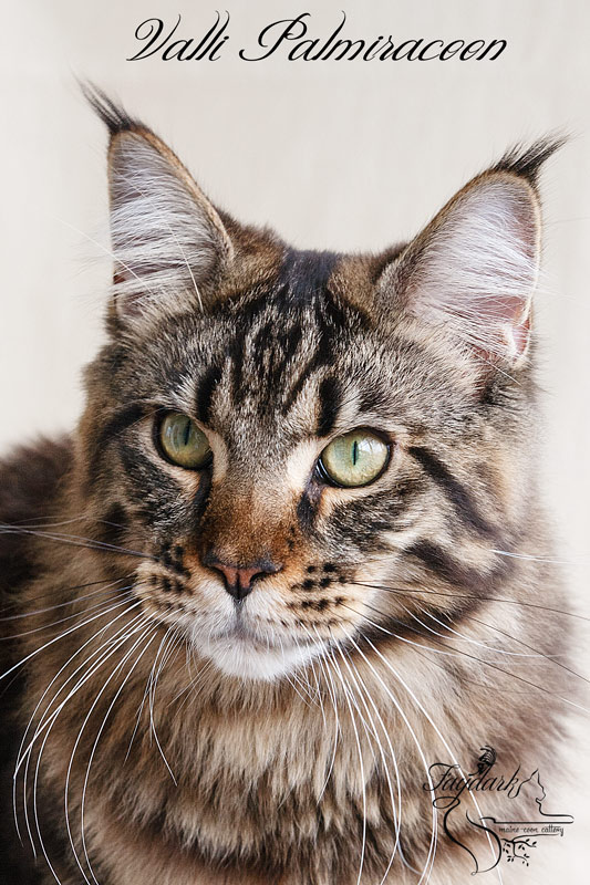Valli Palmiracoon - Adult maine-coon 1 year