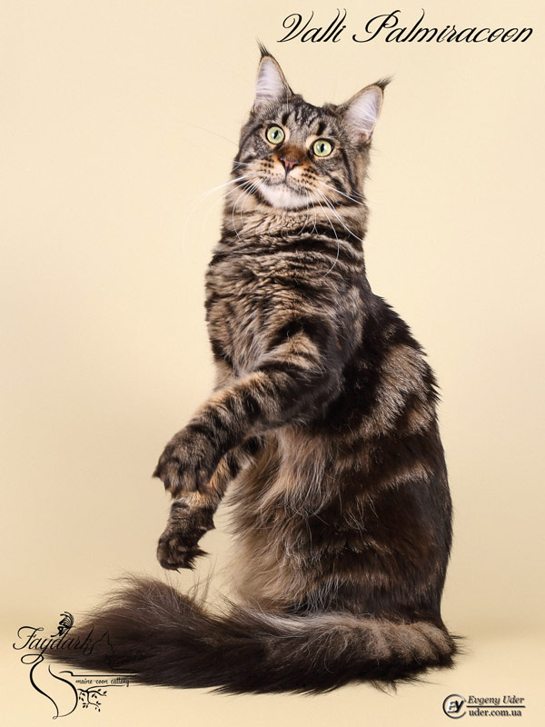 Valli Palmiracoon - Adult maine-coon 1 year 2 months
