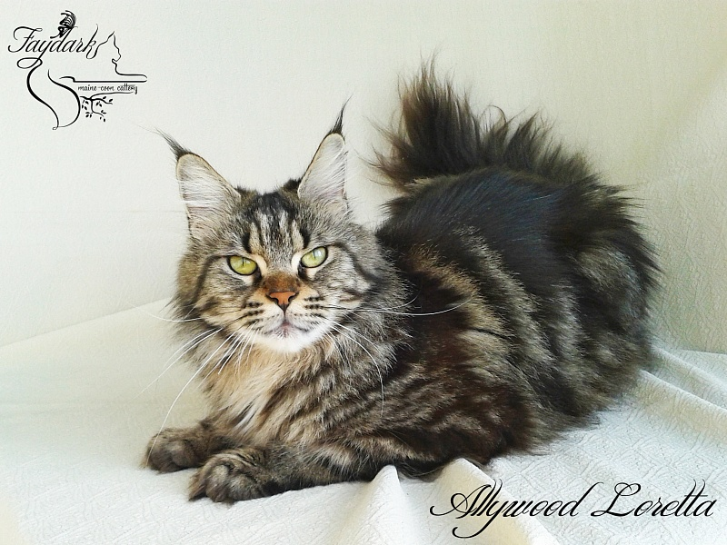 Allywood Loretta - Adult maine-coon 2 years 9 months 1 week