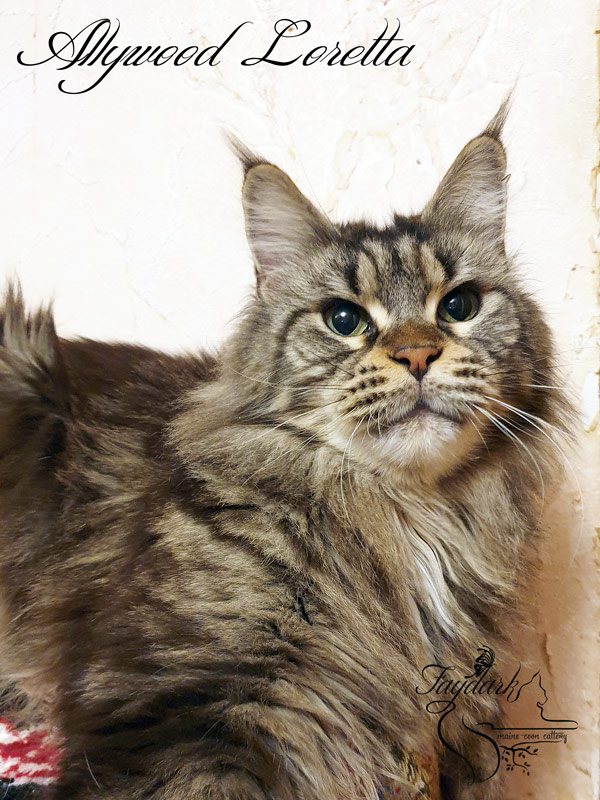 Allywood Loretta - Adult maine-coon 3.5 years