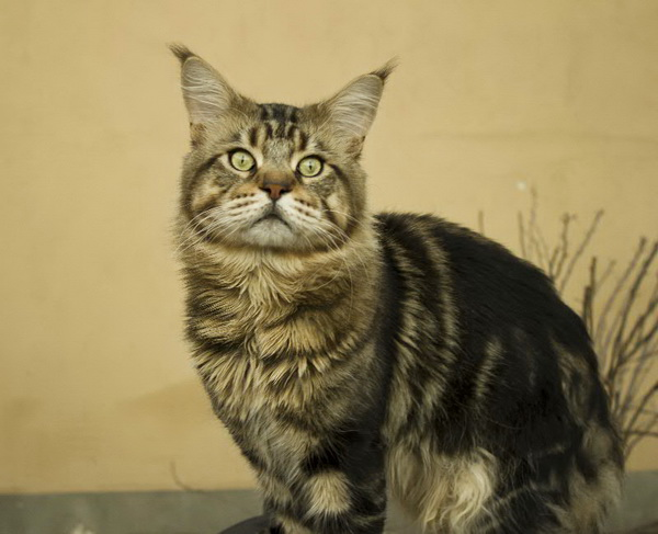Wales Volgo-Don-Coon - maine-coon